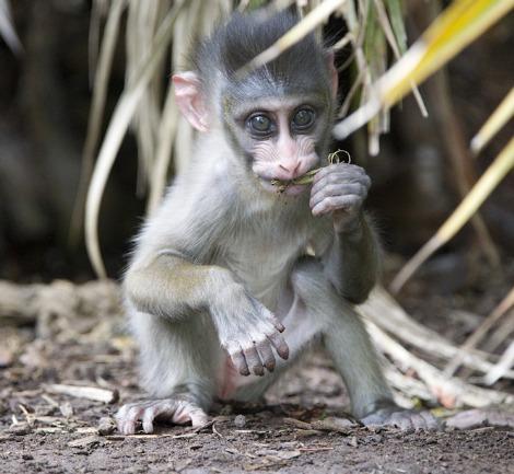 Baby Mandrill Adelaide Zoo 1