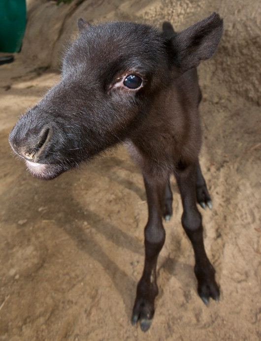 Baby Reindeer Boris Weaned in Time for Christmas! - ZooBorns