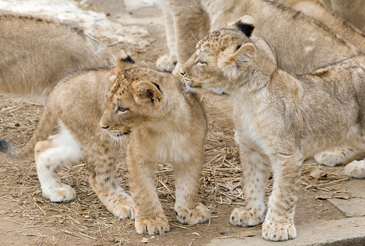 Lion-Cubs_Smithsonian-Zoo3