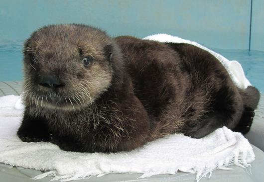 Ollie_the_Sea_Otter_600pxl