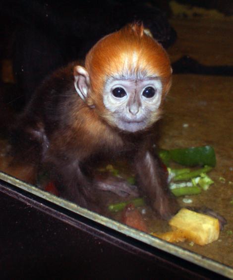 Baby Francois Langur Mesker Park Zoo 1