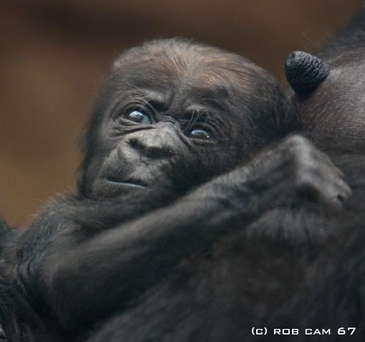 Gorilla_4