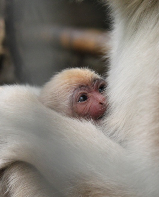 Baby White-Cheeked Gibbon by Anita Yantz 1a