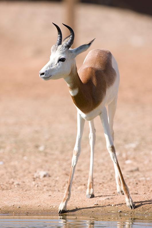 Mhorr-gazelle-003
