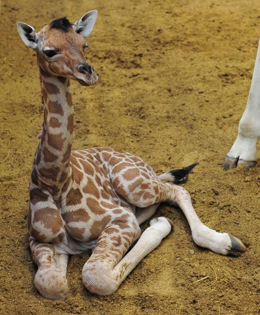 Planckendael-Giraffe-Calf4