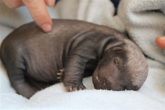 Baby Honey Badger Joburg Zoo at 10-14 days old lying on its side