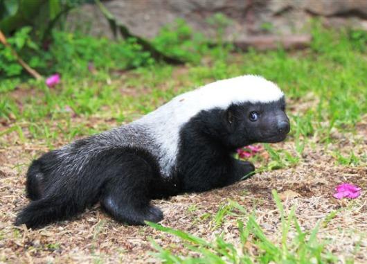 Badger Girl at 9-10 weeks