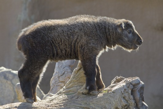 Baby Takin is king of the hill at San Diego Zoo