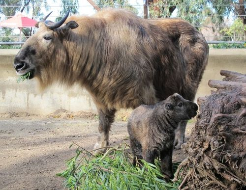 Baby Takin San Diego Zoo giving a side smile