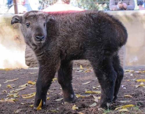 Baby Takin up close and personal at San Diego Zoo
