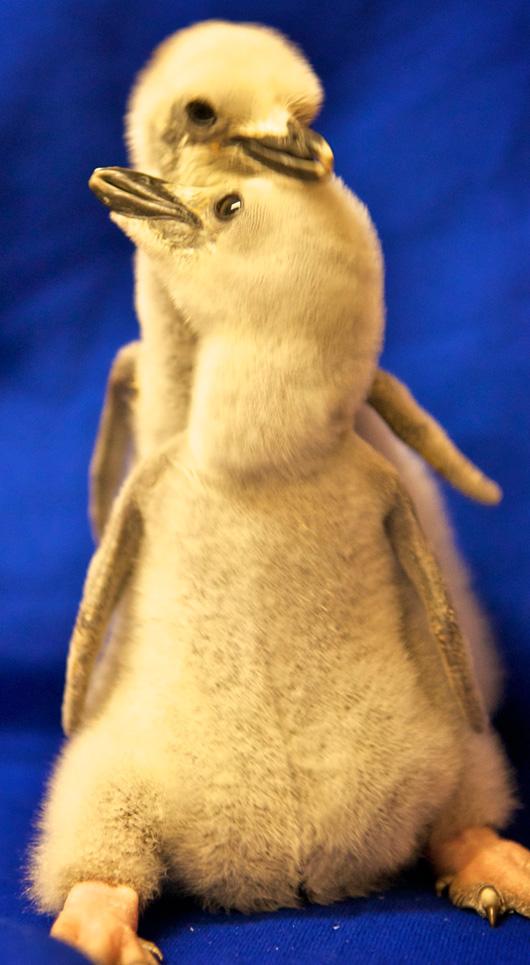 Penguins-San-Antonio8