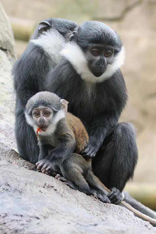 Colchester-Zoo-Le-Hoest-Monkey-1