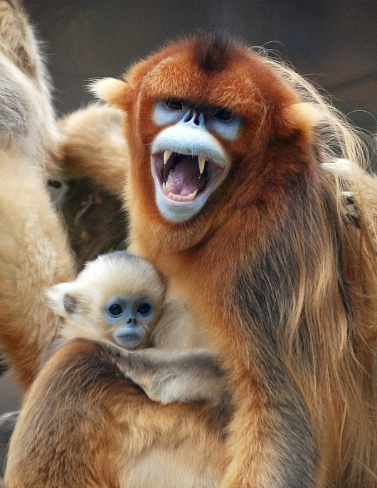 Baby Golden Snub Nosed Monkey clings to mom at Everland Zoo