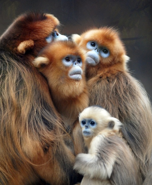 Golden Snub Nosed Monkey family at Everland Zoo