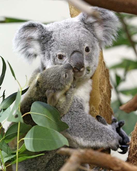 Owen the Koala gives mom a kiss at the Riverbanks Zoo 3