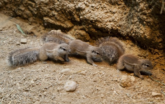 The three Ground Squirrel pups set out looking for adventure