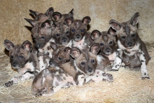 African-Wild-Dog-Puppies-1