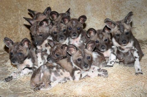 African-Wild-Dog-Puppies-1