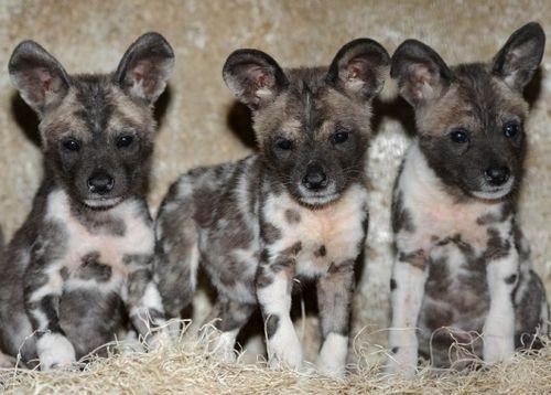 African-Wild-Dog-Puppy-1