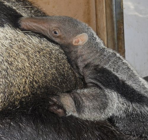 Baby Anteater close-up at the San Francisco Zoo 2