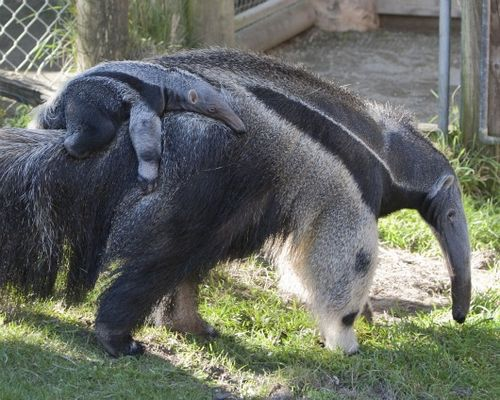 Baby Anteater lazily holds on for a ride 2