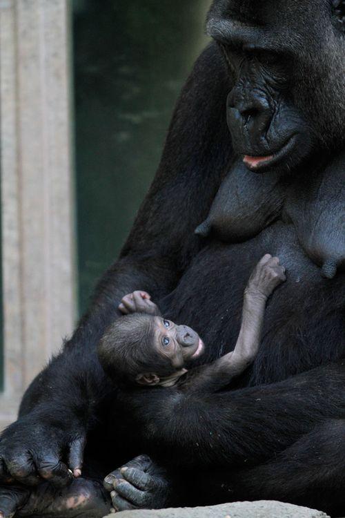 Kipenzi-Taronga-Zoo-Gorilla-3