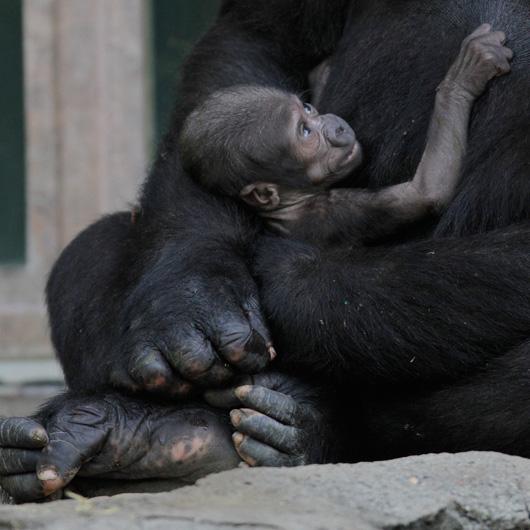 Kipenzi-Taronga-Zoo-Gorilla-2