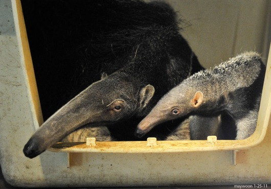 Baby Giant Anteater and Mom at the San Francisco Zoo 6
