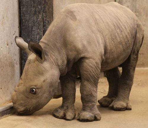 Black Rhino calf explores at the St. Louis Zoo 3