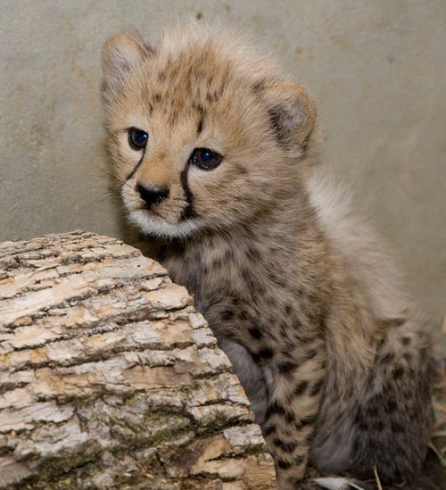 National-Zoo-Cheetah-1