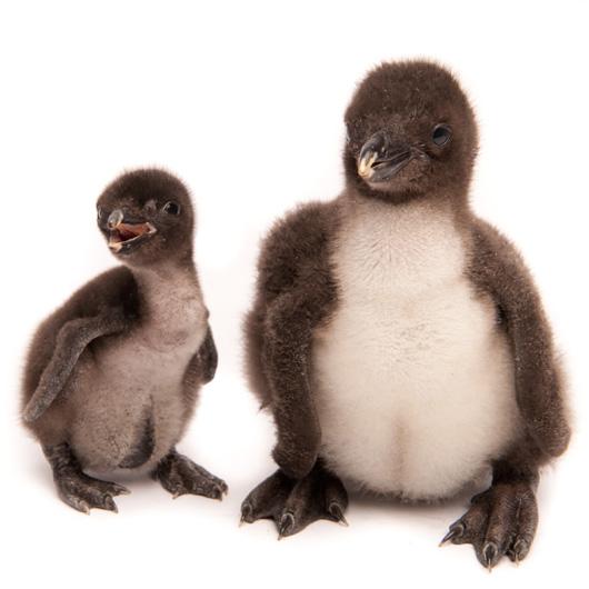 20101222_Baby-Rockhopper-Penguin_06