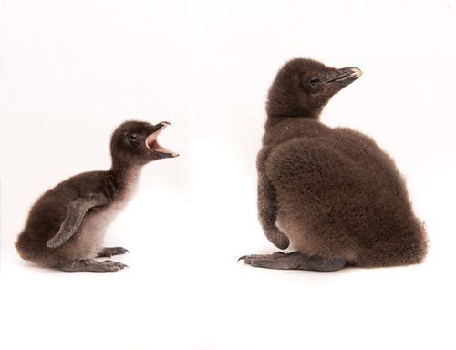 20101222_Baby-Rockhopper-Penguin_01