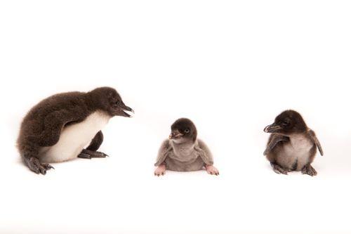 20101222_Baby-Rockhopper_Adelie-Penguin_Baby-Rockhopper11