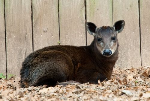 Komet the Yellow Backed Duicker at Houston Zoo 2