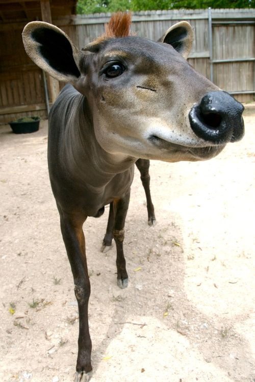 Mama Duiker at Houston Zoo b