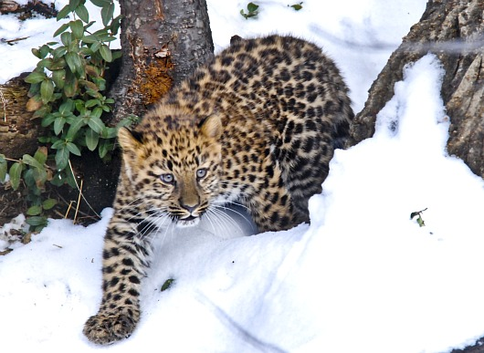 Little Amur Leopard cub steps out in St Louis 2