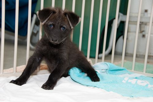 Diego the baby Maned Wolf pup strikes a pose at Houston Zoo