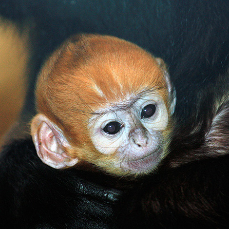 Cleveland-MetroParks-Zoo-Langur-5
