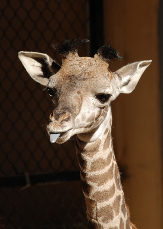 SB-Zoo-Giraffe-Calf-credit-Sheri-Horiszny-2