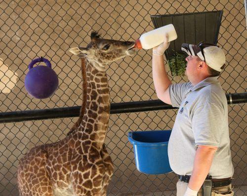 SB-Zoo-Giraffe-Calf-bottle-Photo-Credit-Santa-Barbara-Zoo-1