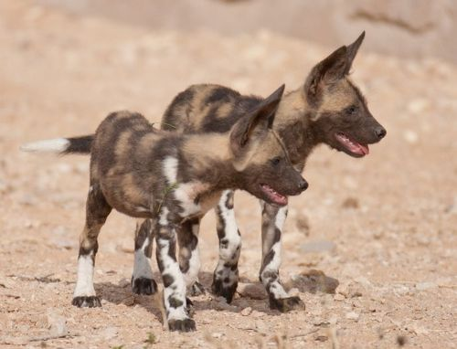 African Wild Dogs looking for trouble at Ail Ain Wildlife Park