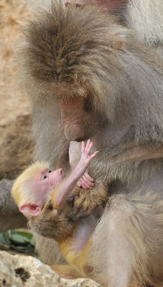 Baby Red Baboon reaches for mom