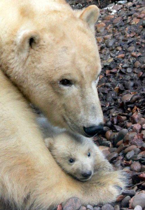 Little Polar Bear cub at Aalborg Zoo 1