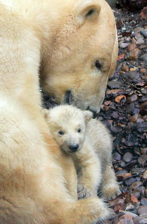 Little Polar Bear cub at Aalborg Zoo 2
