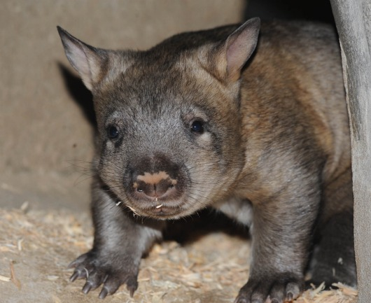 Baby Wombat Brookfield Zoo - check out that nose 2