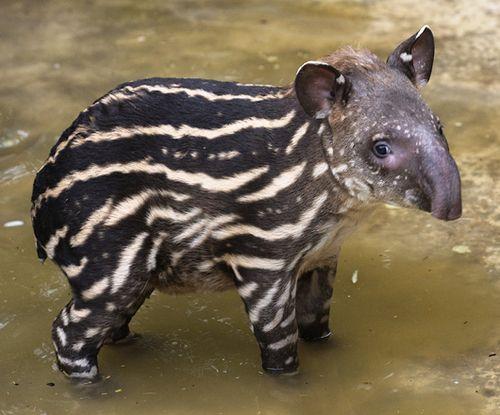 Bristol-Zoo-Baby-tapir-credit-Bob-Pitchford
