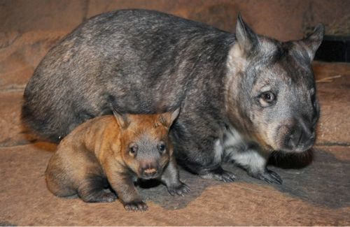 Baby wombat and mom at the Brookfield Zoo