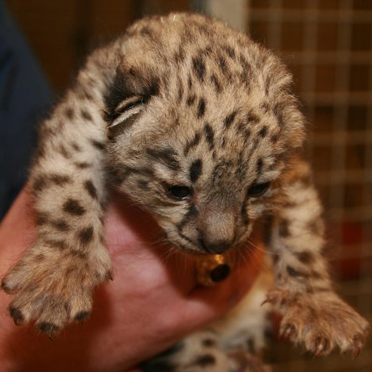 Chatt-Zoo-Baby-SNow-Leopard-2