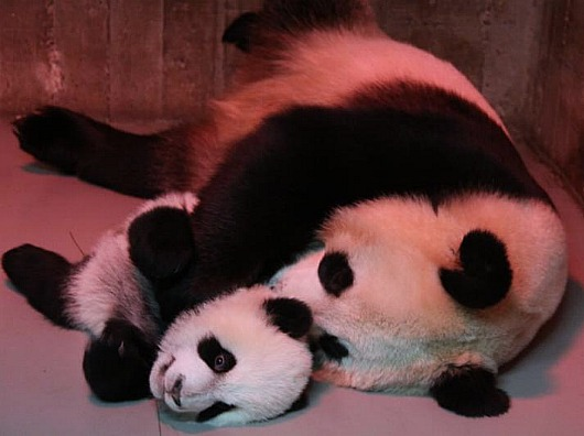 Panda Cubs at Madrid Zoo 1