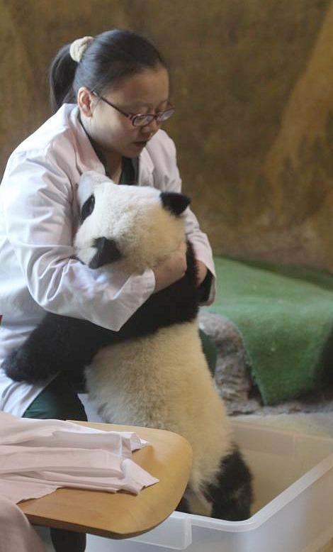 Panda Cubs at Madrid Zoo 3
